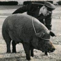 Officer Burkhamer Subdues a Boar
